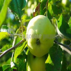 Саженцы яблок летних