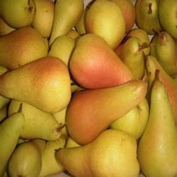 Саженцы груш осенних