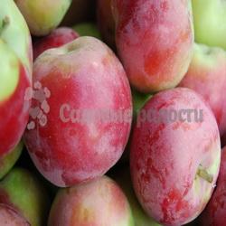 Саженцы яблок осенних